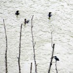 img_0034-belted-kingfisher-and-3-cormorants