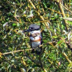 img_0058-belted-kingfisher