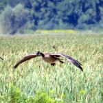 img_0096-canada-geese-coming-in-for-a-landing