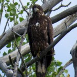 img_0128-young-bald-eagle