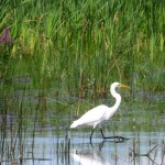 img_0137-great-egret