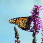 img_0150-monarch-butterfly