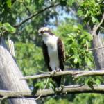 img_0153-osprey