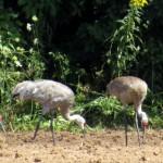 img_0161-sandhill-cranes1