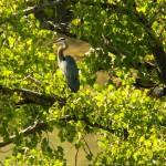Great Blue Heron in a Tree Genesee River 9-13-14