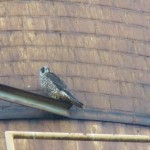 Unbanded Juvie Peregrine Falcon at RS 9-28-14