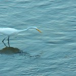 6-great-egret-9-26-14