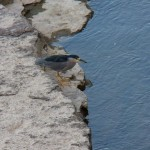 Black-Crowned Night Heron 9-25-14