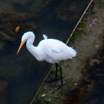9-great-egret-9-26-14