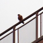 img_0001-falcon-on-st