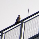img_0001-st-mystery-falcon