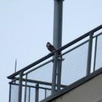 img_0003-falcon-at-st1