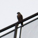 img_0006-new-falcon
