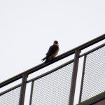 img_0007-new-falcon
