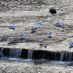 img_0039-gulls-enjoying-the-water