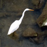img_0041-great-egret-in-river