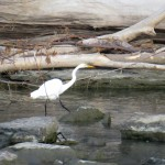 img_0056-great-egret-from-court-st-bridge
