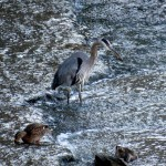 img_0059-great-blue-heron