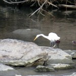 img_0060-great-egret