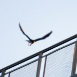 img_0064-yellow-tape-falcon-takes-off