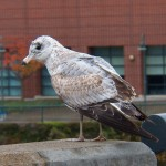 Juvie Ring-billed Gull on the Broad St Bridge -10-18-14