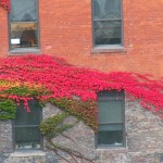 Lovely Fall Ivy on the TR Building 10-17-14