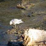 img_0051-gulls
