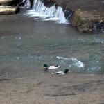 img_0054-ducks
