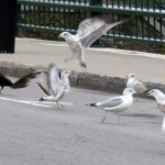 img_0096-gulls-and-crows-fighting-over-piece-of-paper