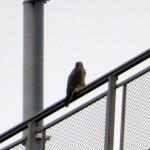 img_0168-unbanded-falcon