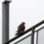 img_0188-unbanded-falcon