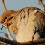 11-mourning-dove-11-27-14
