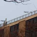 Two Falcons at ST 11-23-14