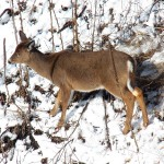 Deer on Gorge Wall 1-31-15