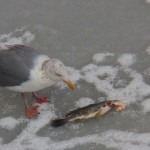 Gull and Frozen Fish 2-22-15