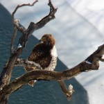 Juvie Red-tailed Hawk in the Bowed Tree 2-22-15