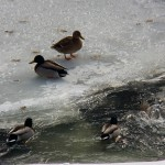 Ducks on Ice 2-22-15