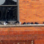 img_0027-more-pigeons