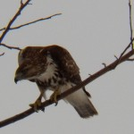 Young Red-tail Hawk Hunting Montezuma -3-21-15