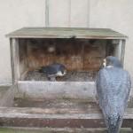 bdc-in-nest-box-3-20-15-maincamera_20150320-144100
