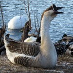 img_0076-noisy-african-goose