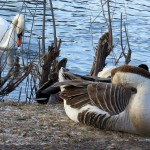 img_0078-swan-and-goose-with-a-couple-duck-tails