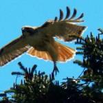 Mt Hope Hawks -5-23-15