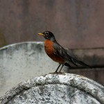 Robin at Mt Hope Cemetery -5-23-15