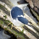 img_0047-black-crowned-night-heron