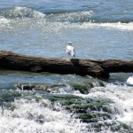 img_0088-gull-on-a-log