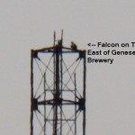 Falcon on Cell Tower East of Brewery -7-29-15