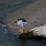 Hunting Black Crowned Night Heron -7-27-15