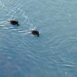 img_0016-quack-quack