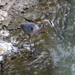 img_0034-gbh-in-gorge